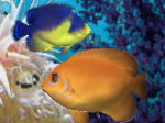 shubeykin-dmitry-amazing-3d-aquarium-genicanthus-fish-pack-4-logo.jpg